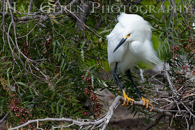 Snowy Egret Male in his Courting Display Lakeshore Park, Newark, California 1805N-SEMIHCD15