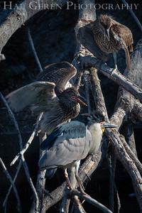 Black Crowned Night Heron Fledglings Lakeshore Park, Newark, California 1805N-BCNHF2