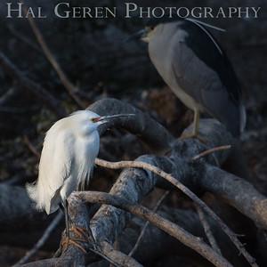 Snowy Egret and Black Crowned Night Heron Lakeshore Park, Newark, Ca 1503LN-SEABCNH1