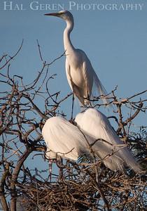 Great Egrets Lakeshore Park, Newark, Ca 1503LN-GEG1