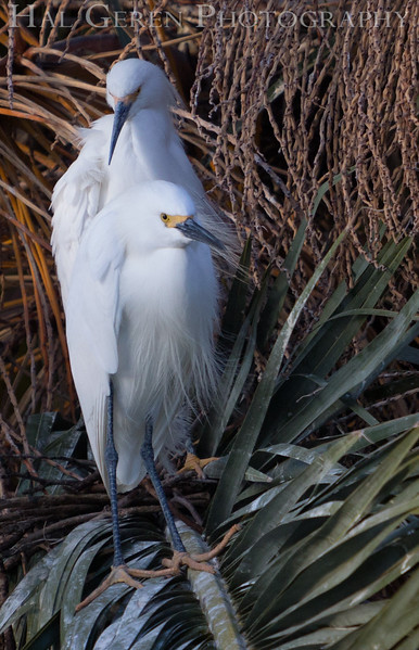 Snowy Egrets<br /> Lakeshore Park, Newark, Ca<br /> 1503LN-S1