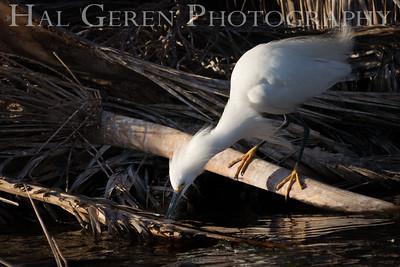 Snowy Egret Lakeshore Park, Newark, Ca 1503LN-SE3
