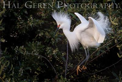 Snowy Egret Mating Display Lakeshore Park, Newark, Ca 1503LN-SED1