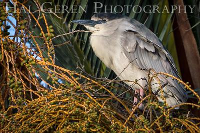 Black Crowned Night Heron Lakeshore Park, Newark, Ca 1503LN-BCNH1