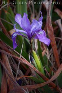 Douglas Iris Mendocino Coast, California 1305M-FDI1