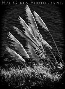 Pampas Grass Mendocino Coast 1812M-P3B