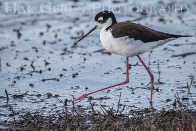 Black Necked Stilt Merced National Wildlife Refuge Merced, California 1503M-BSN1