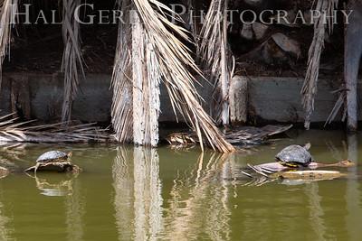 Sunbathing Turtles Newark, CA 1903N-ST2