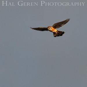 Osprey Hunting Don Edwards Natoinal Wildlife Reserve Fremont, CA 1912R-O2
