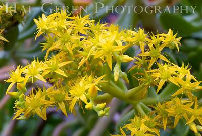 Lemon Flowers Newark, CA 1904D-F5S90
