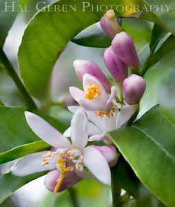 Lemon Flowers Newark, CA 1904D-FL12S35
