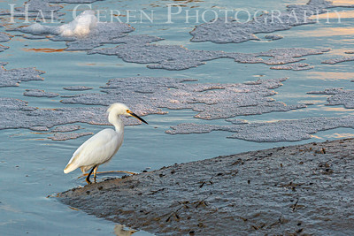 Snowy Egret Don Edwards Natoinal Wildlife Reserve Fremont, CA 1912R-SE1
