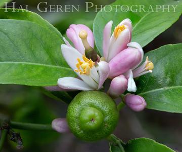 Lemon Flowers Newark, CA 1904D-FL18AS20