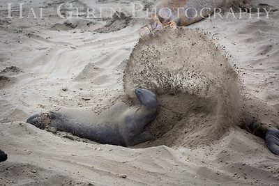 Elephant Seal Flinging Sand