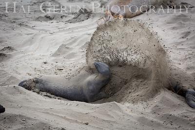 Elephant Seal Flinging Sand
