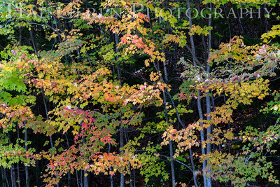 Autumn Leaves, Vermont 1910V-L3