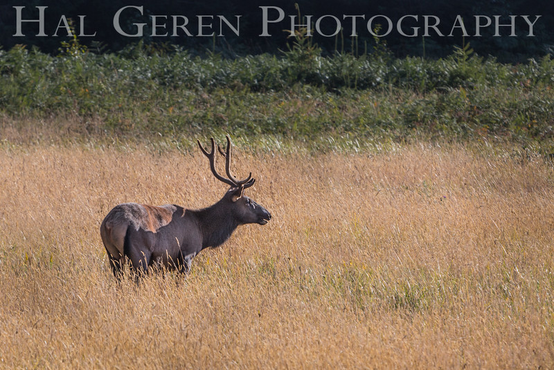 Roosevelt Elk<br /> Prairie Creek Redwoods St Park, Orick, California<br /> 1608O-RE4