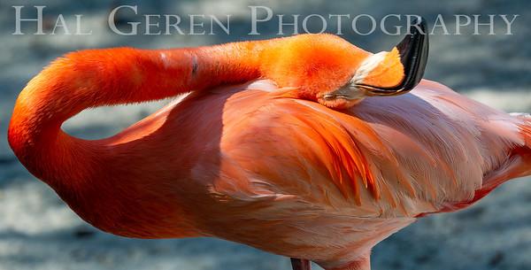 American Flamingo San Diego Zoo, San Diego 1905SD-F3