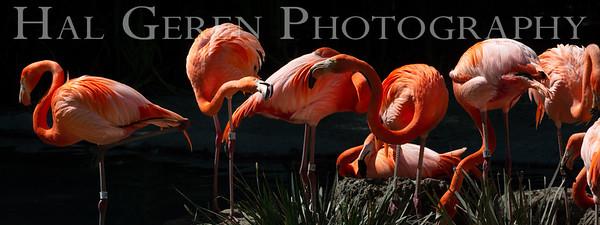 American Flamingos San Diego Zoo, San Diego 1905SD-F17G