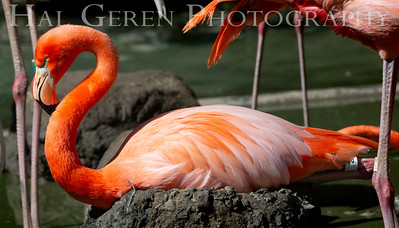 American Flamingo on Nest San Diego Zoo, San Diego 1905SD-F10OW