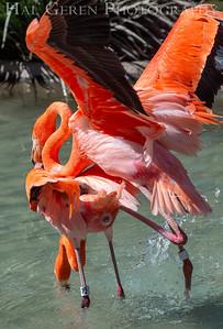 American Flamingo San Diego Zoo, San Diego 1905SD-F13L