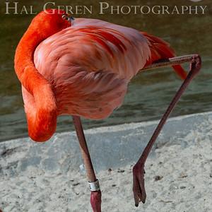 American Flamingo San Diego Zoo, San Diego 1905SD-F11