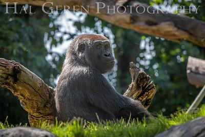 Western Gorilla San Diego Zoo, San Diego 1905SD-WG1