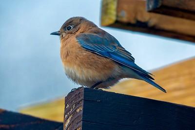 Bluebirds (6 of 19)