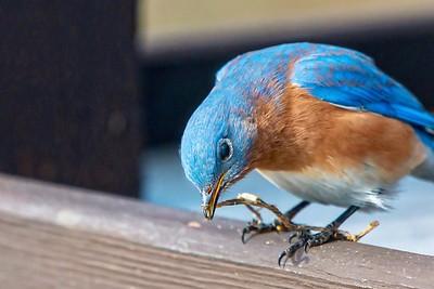 Bluebirds (13 of 19)
