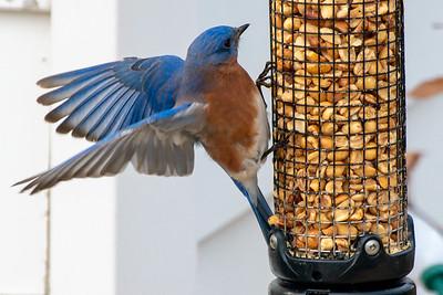 Bluebirds (11 of 19)