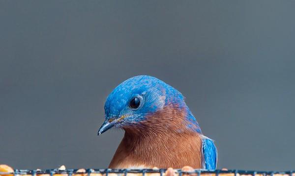 Bluebirds (4 of 19)