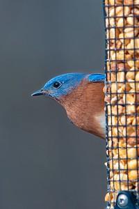 Bluebirds (2 of 19)