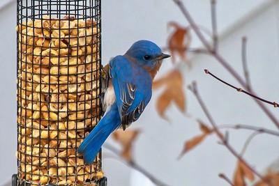 Bluebirds (12 of 19)