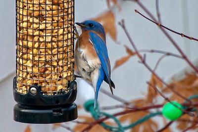 Bluebirds (7 of 19)