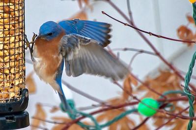 Bluebirds (9 of 19)