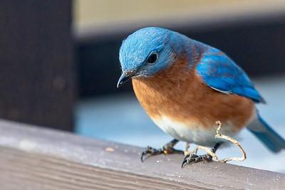Bluebirds (14 of 19)