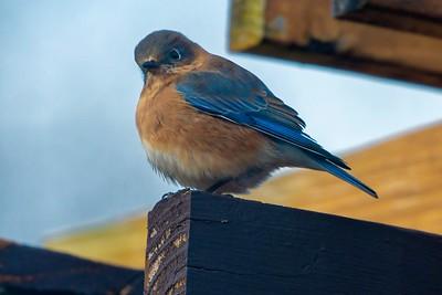 Bluebirds (5 of 19)