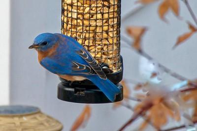 Bluebirds (10 of 19)