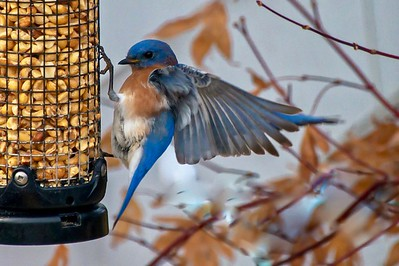 Bluebirds (8 of 19)