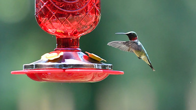 Humming Birds Fathers Day Farm 2016 (8 of 16)