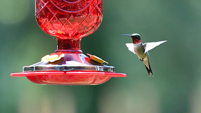 Humming Birds Fathers Day Farm 2016 (9 of 16)