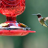 Humming Birds Fathers Day Farm 2016 (7 of 16)