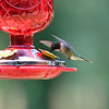Humming Birds Fathers Day Farm 2016 (13 of 16)