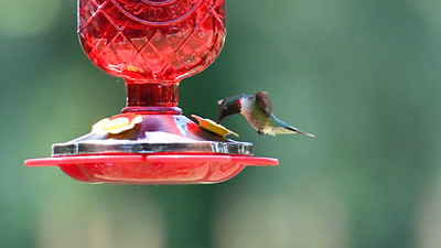 Humming Birds Fathers Day Farm 2016 (11 of 16)