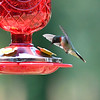 Humming Birds Fathers Day Farm 2016 (10 of 16)