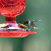 Humming Birds Fathers Day Farm 2016 (12 of 16)
