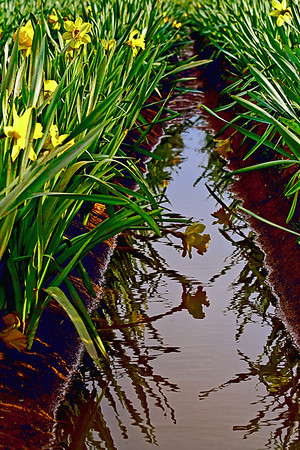 Wet daffodil fields in spring