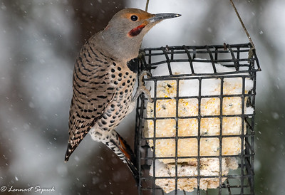 Northern Flicker, male