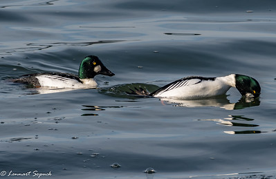 Common Goldeneye diving
