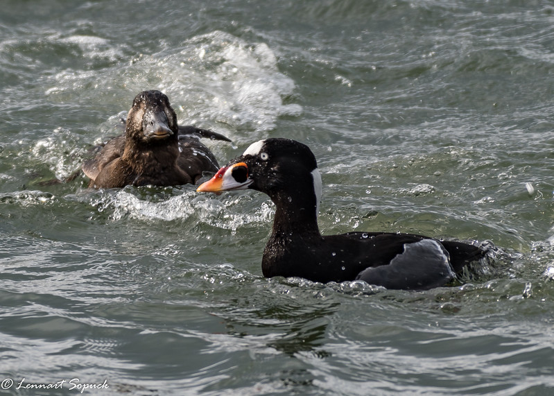 Surf Scoter, male and female